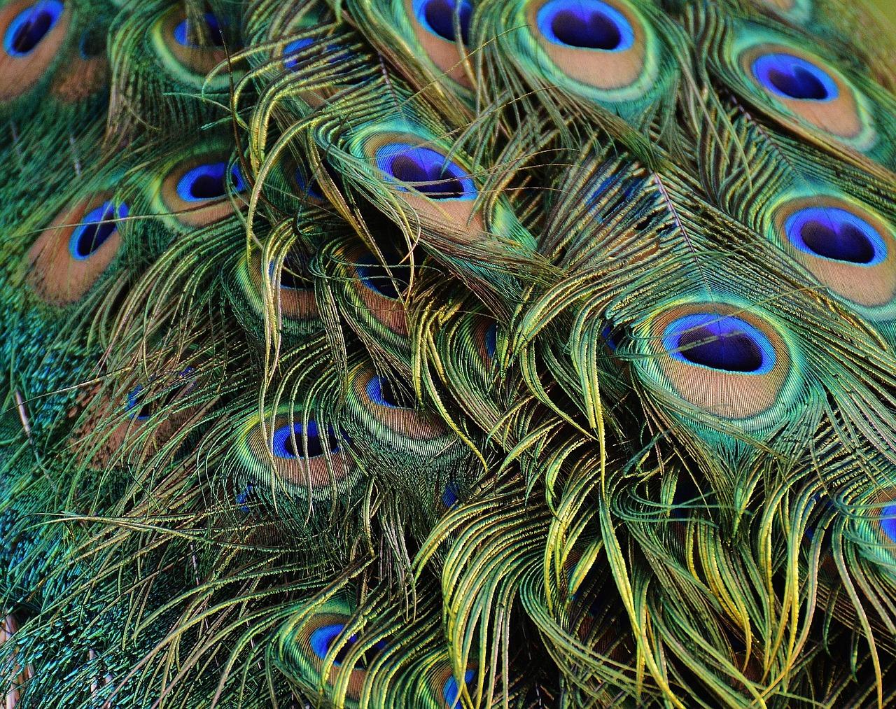 Peacock Effect, czyli efekt pawia