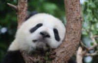 Dyplomacja pandy